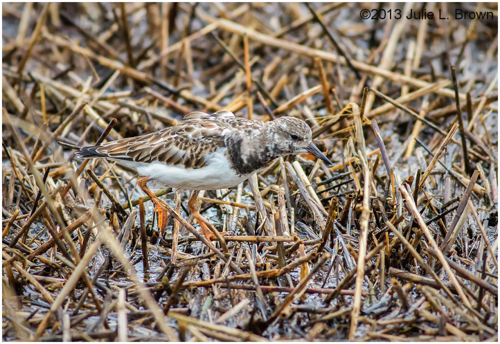 ruddy turnstone nonbreeding foraging in sea wrack