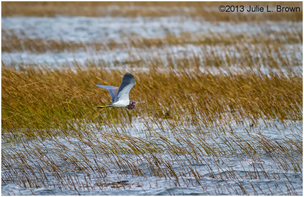 tricolored heron in flight over marsh