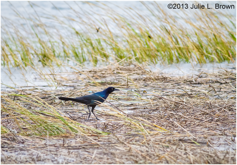 boat-tailed grackle in salt marsh sea wrack