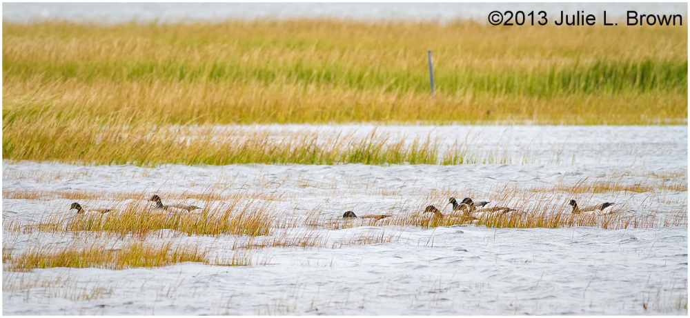 group of brant in nummy island salt marsh