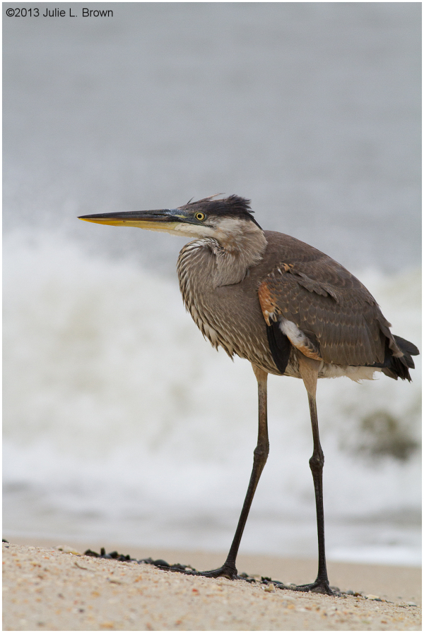 1st year great blue heron cape may new jersey