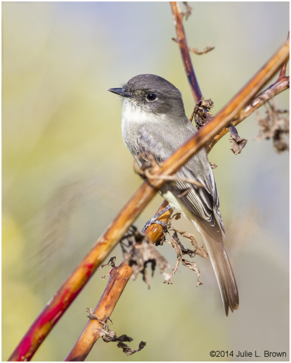 Eastern Phoebe (Sayornis phoebe), adult perched 2