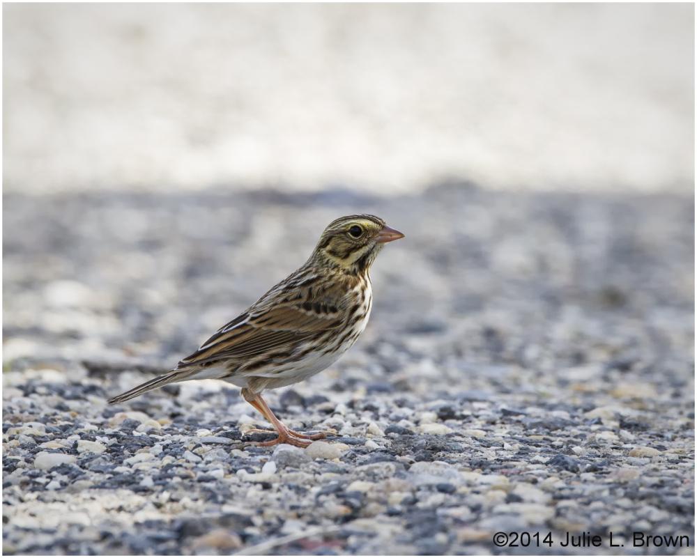 savannah sparrow Edwin B. Forsythe NWR New Jersey