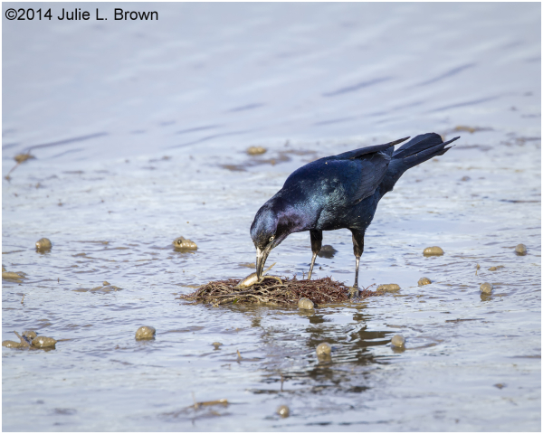 grackle on mudlfat with prey forysthe NWR