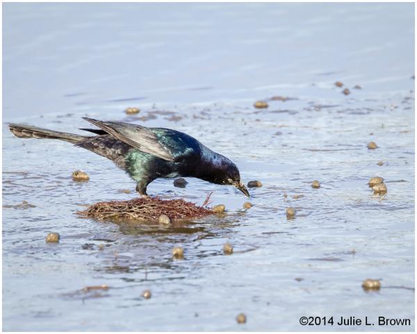 boat-tailed grackle on mudflat prey forsythe NWR