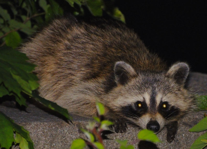 rocky raccoon by the moon