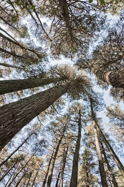 pine barrens trees