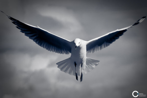 Seagull coming in to land