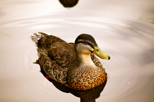 A Brown duck