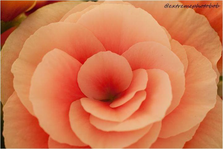 Beautifull Begonia