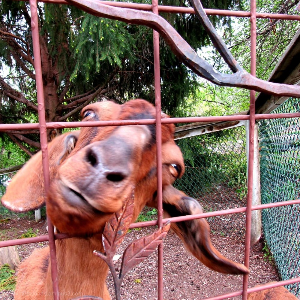 Goat at the Gate