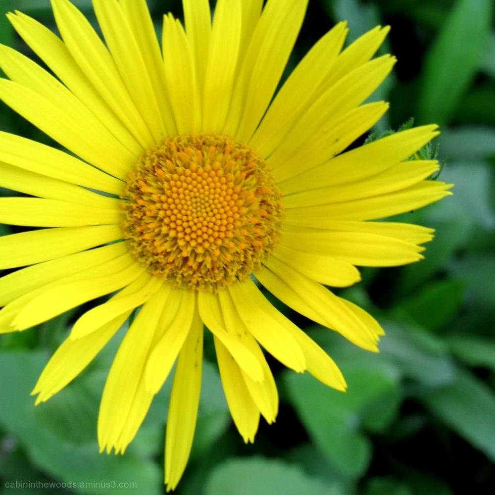 Daisy in Yellow