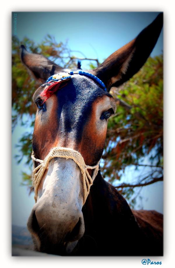 A Donkey in Paros