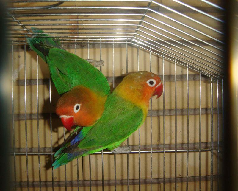 Parrot !
