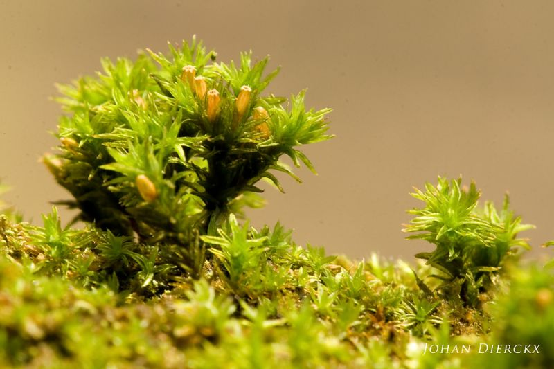 Orthotrichum affine