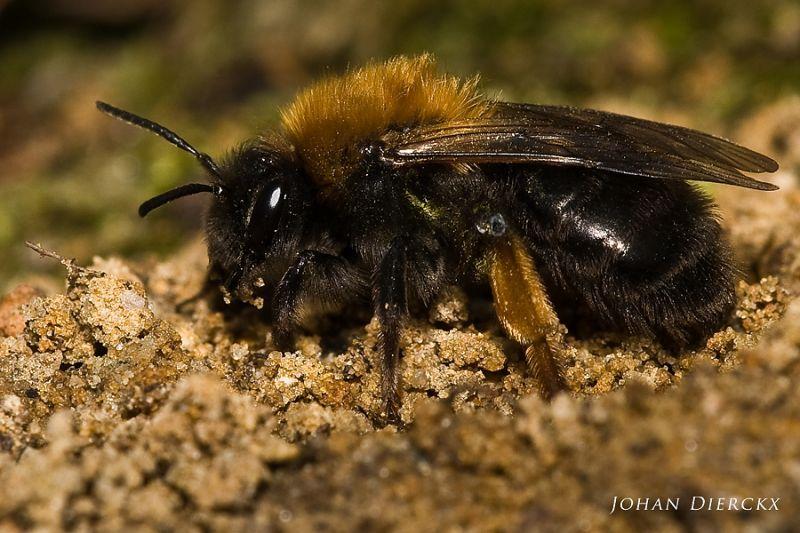 Andrena clarkella #2
