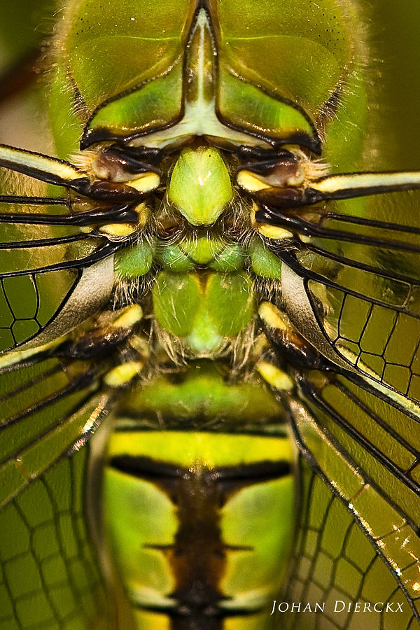 Anax imperator - detail #2