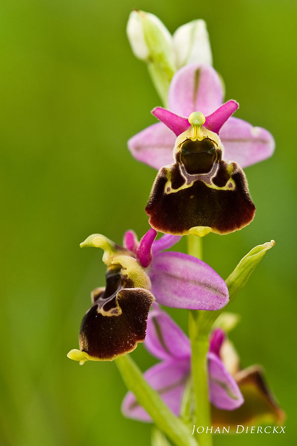 Ophrys fuciflora