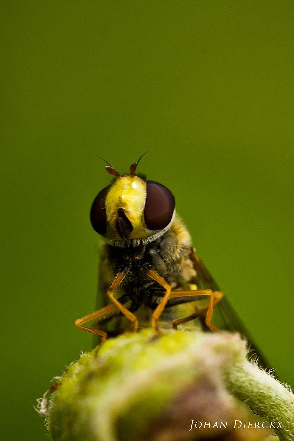 Syrphidae specimen