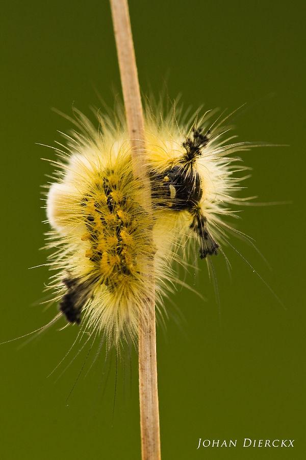 Orgyia antiquoides - caterpillar