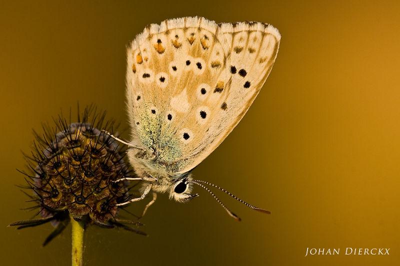 Polyommatus coridon #2