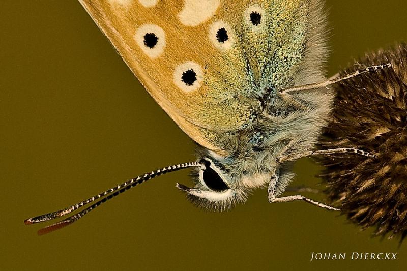 Polyommatus coridon #3