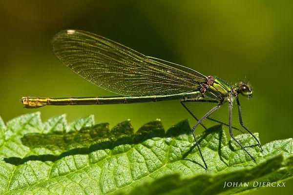 Calopteryx splendens female