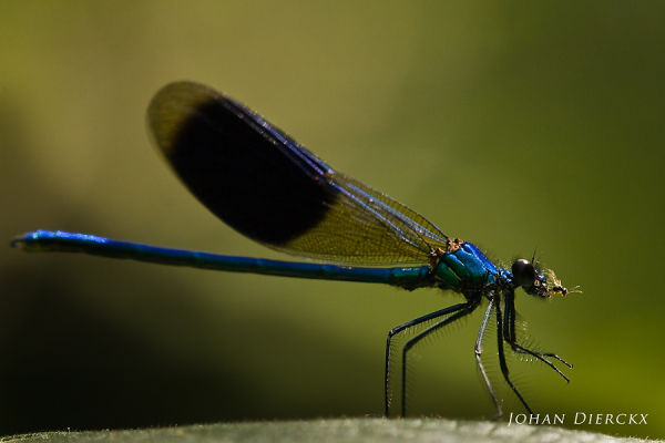 Calopteryx splendens male