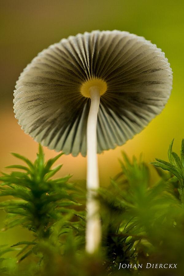 Parasola leiocephala #2