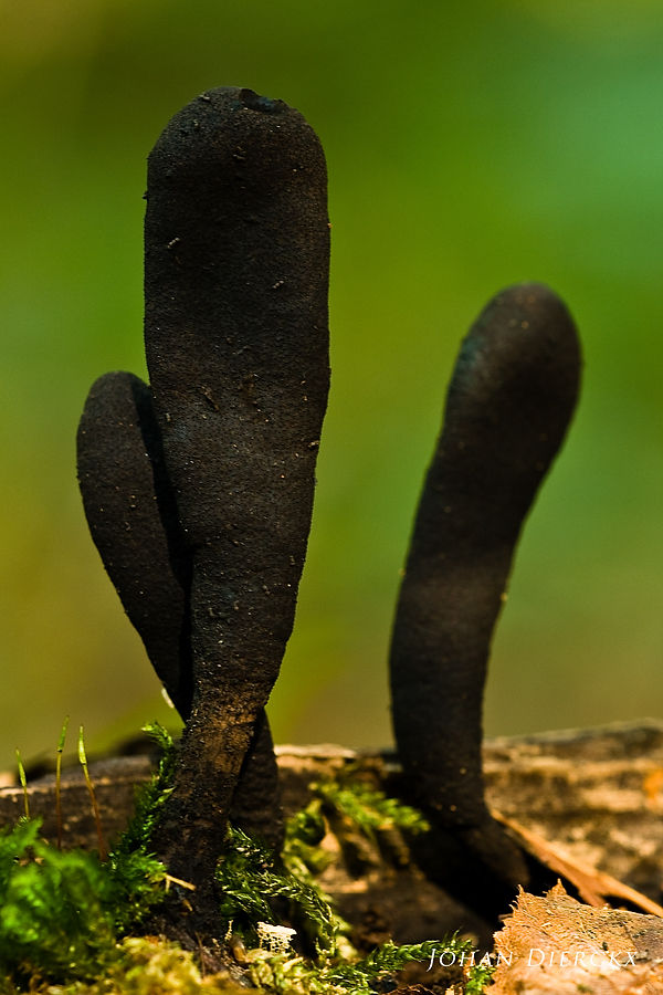 Xylaria longipes