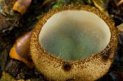 Humaria hemisphaerica
