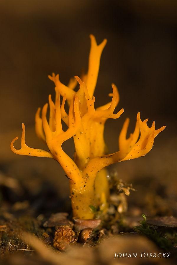 Calocera viscosa