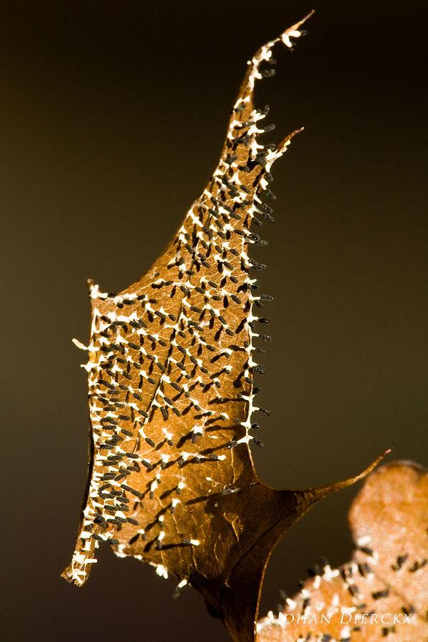 Diachea leucopoda