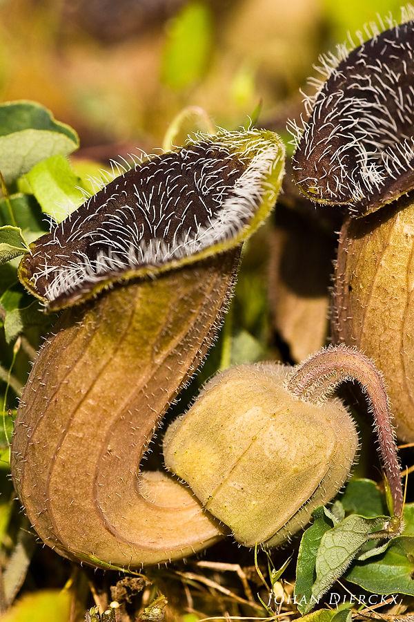Aristolochia cretica