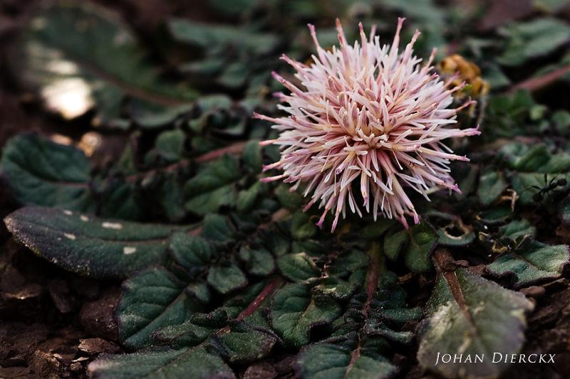 Centaurea raphanina ssp. raphanina