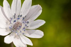 Anemone hortensis ssp. heldreichii