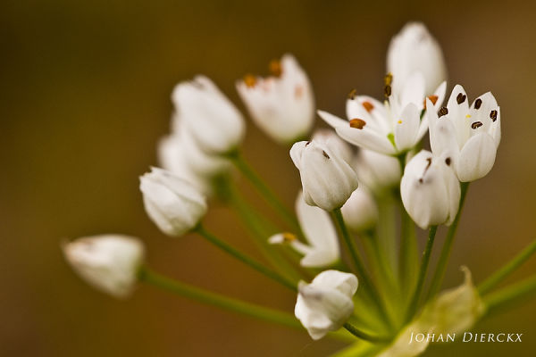 Allium subhirsutum