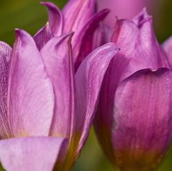 Tulipa saxatilis subsp. bakeri