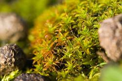 Syntrichia ruralis subsp. ruraliformis