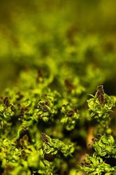 Ulota phyllantha