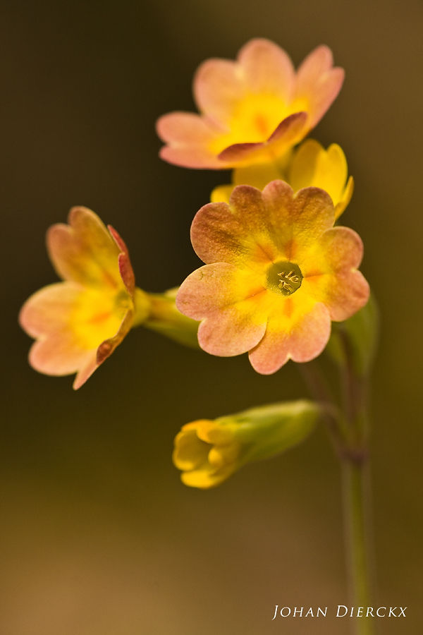 Primula veris (Lusus naturae)