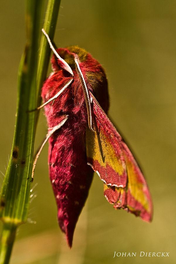 Deilephila porcellus