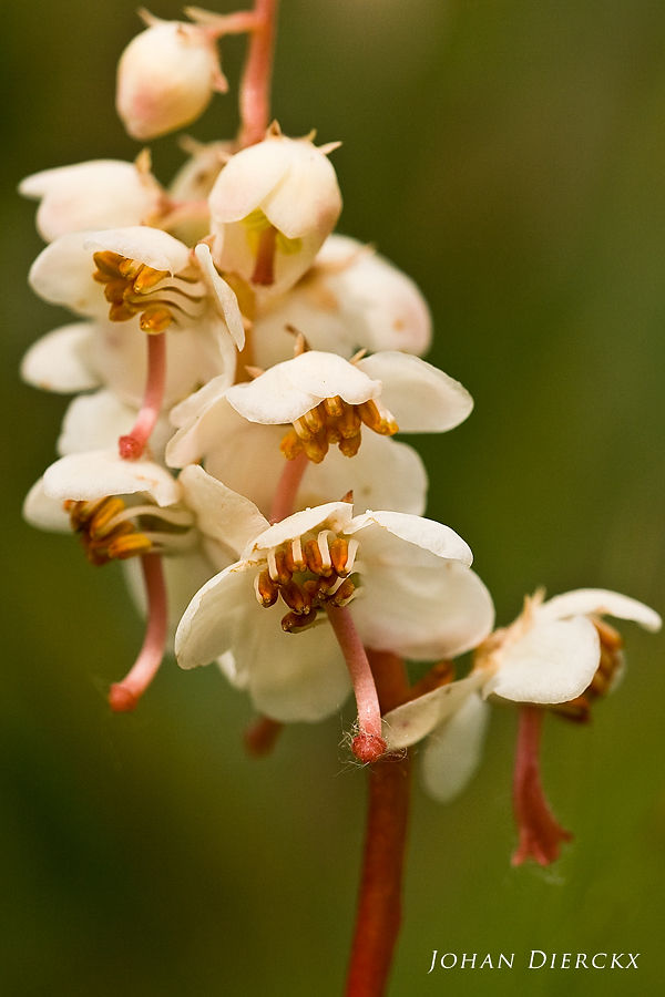 Pyrola rotundifolia subsp. maritima
