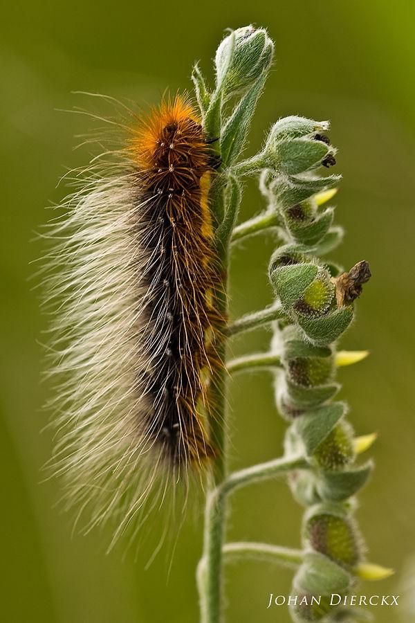 Arctia caja - caterpillar
