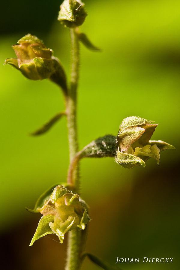Epipactis microphylla