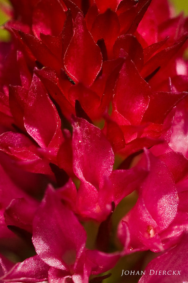 Nigritella bicolor