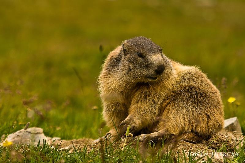 Marmota marmota