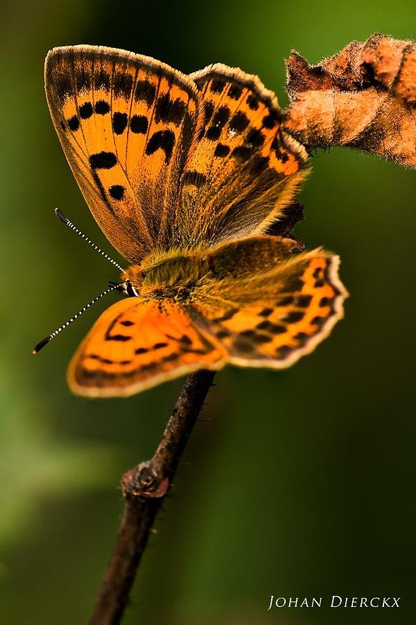 Lycaena virgaureae - female