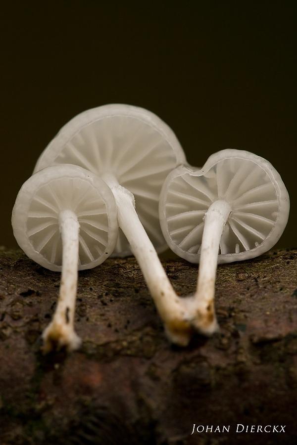 Oudemansiella mucida