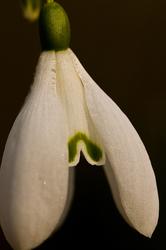 Galanthus nivalis 1/3
